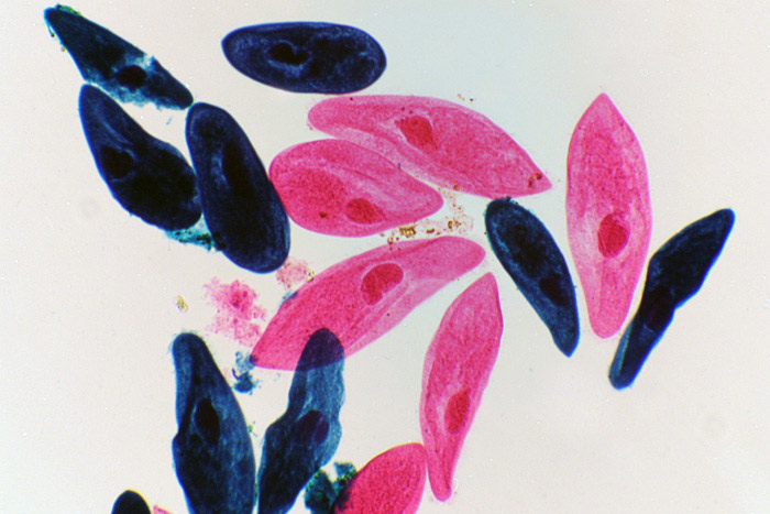 инфузории под микроскопом, инфузория микроскоп, инфузория туфелька микроскоп, инфузория туфелька под микроскопом
